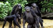 Video: Cận cảnh bầy tinh tinh sẵn sàng ăn thịt người nếu bị xâm phạm lãnh thổ