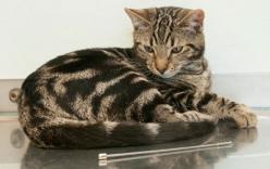 Chú mèo sống sót kỳ diệu sau khi ăn…ăng-ten ti-vi