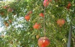 Giải mã trái cây có công dụng như Viagra