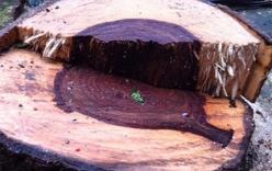 Tin đồn đi đánh cá bắt được gỗ sưa tiền tỷ: Bỏ việc, lặn suối tìm... lộc trời