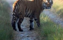 Hổ dữ xổng chuồng liên tiếp ăn thịt 10 người
