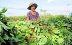 Quái đản thương lái Trung Quốc thu mua mầm thảo quả