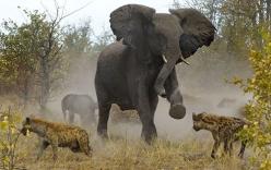 Cuộc chiến đấu đẫm máu giữa linh cẩu và voi rừng