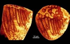 Phát hiện tinh trùng khổng lồ, cổ xưa nhất