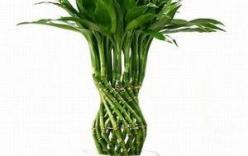 Tại sao nên trồng cây Phất Dụ trong nhà?
