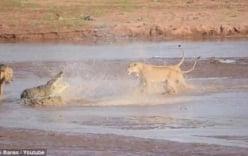 Xem trận chiến quyết liệt giữa bầy sư tử và cá sấu