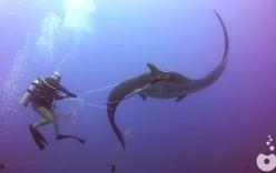 Cá đuối khổng lồ hơn 2 tấn mắc lưới cầu cứu thợ lặn giữa đại dương