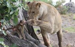 Báo đốm hung hãn giết thịt khỉ mẹ rồi âu yếm khỉ con