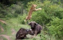 Xem trâu rừng húc bay sư tử lên không trung