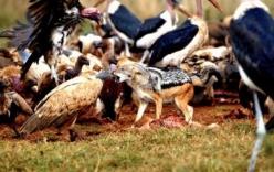 Chó rừng tranh mồi bị kền kền đánh gãy lưng