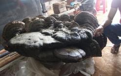 Cận cảnh cây nấm linh chi nặng hơn 2 tạ, được trả giá tiền tỷ