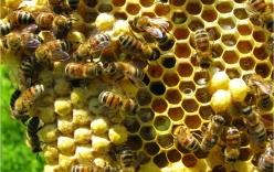 Việt Nam bán mật ong, thu về nghìn tỉ/năm