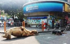 Trung Quốc: Chặt cụt chân lạc đà để đi ăn xin