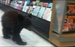 Sửng sốt thấy gấu con lang thang trong hiệu thuốc