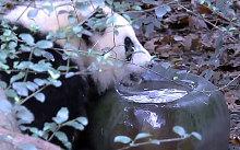 Video hài hước: Gấu trúc nhúng mông vào bát nước để làm mát