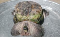 Tiền Giang: Rùa có hình thù
