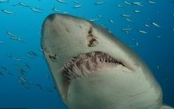 Ngư dân Philippines phát hiện xác người trong bụng cá mập