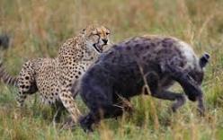 Đời sống - Báo mẹ đánh bạt bầy linh cẩu để cứu con