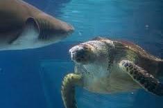 Cá mập hổ hoảng loạn vì bị rùa biển tấn công liên tiếp