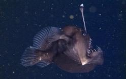 Công bố hình ảnh sống đầu tiên của loài cá cực dị dưới biển sâu