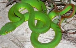Video: Hàng trăm con rắn lục đuôi đỏ cực độc ngụy trang trên cây