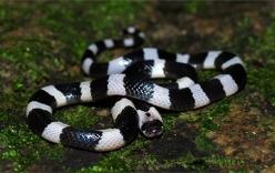 Hưng Yên: Đang ngủ, rắn cạp nia bò vào giường cắn