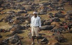 Hãi hùng cảnh giết hơn 6000 con trâu đẫm máu trong lễ tế thần Nepal