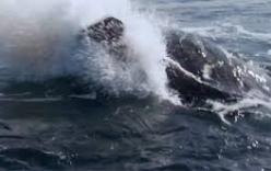 Cá heo sát thủ hạ sát sư tử biển trong giây lát