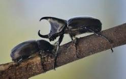 Xem bọ cánh cứng chiến đấu quyết liệt