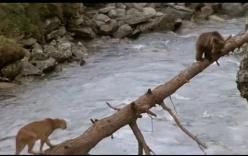 Clip gấu con thoát nanh sư tử núi thu hút hàng triệu lượt xem