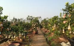 Chiêm ngưỡng vườn cây Ngũ – Thất - Cửu quả bạc tỷ của lão nông Hà thành