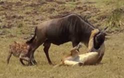Báo gấm hạ gục cùng lúc 2 con linh dương