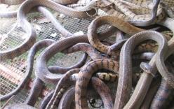Thương lái Trung Quốc ngưng mua rắn, người nông dân khóc ròng