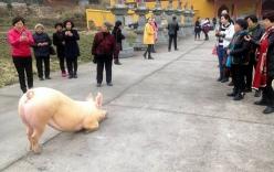 Sự thật chú lợn 1,5 tạ
