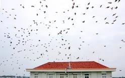 Hàng vạn con chim én ken đặc bầu trời Hậu Giang