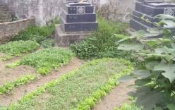"""Nhiều người Hà Nội ăn rau muống """"độc"""" trồng trong nghĩa địa"""