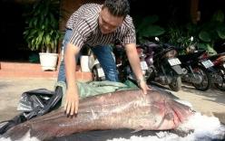 Cận cảnh cá leo dài 1,7 m, nặng 65 kg ở miền Tây
