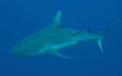 Một du khách bị cá mập cắn chết tại biển Đỏ
