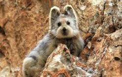 Loài thỏ mặt gấu tái xuất sau 2 thập kỷ