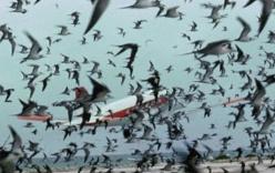 Vì sao chim thường lao đầu vào máy bay?
