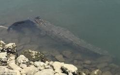 Cá sấu ngoạm chú chó thản nhiên bơi