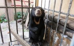 Giải cứu thành công 1 cá thể gấu chó từ vụ buôn lậu