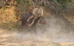 Sư tử chết thảm sau cuộc chiến đẫm máu với trâu rừng