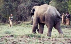 Video: Kinh hoàng voi 5 tấn quật người nằm bẹp dưới ruộng lúa