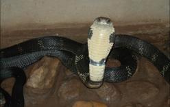 Clip: Bắt rắn hổ mang chúa khổng lồ núp trong nhà bếp