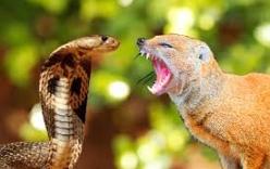 Video: Cuộc chiến nảy lửa giữa rắn hổ mang và chồn đuôi xù