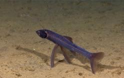 Video: Cá da trơn leo lên cạn để kiếm ăn