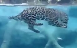 Video: Báo đốm lặn săn mồi dưới nước