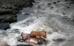 Sư tử dùng xác hà mã làm bè để vượt sông