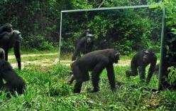 """Video: Khỉ đột, báo hoa mai """"bị sốc"""" khi lần đầu soi gương"""